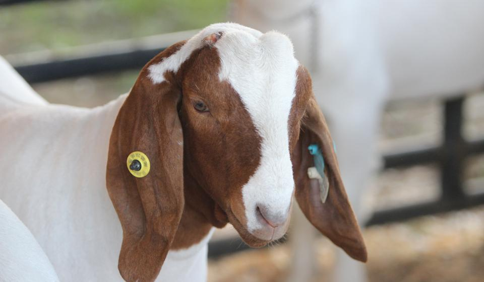 goat with a tag in ear